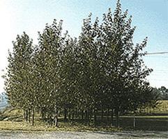 Hybrid Poplar Tree Hybrid Poplars