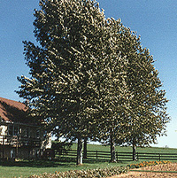 Hybrid Poplar Tree 3  Three 8 year old Poplars